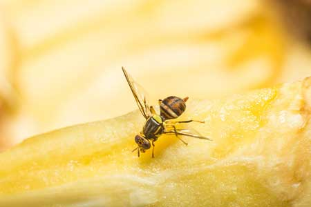 Fumigación de mosca de la fruta