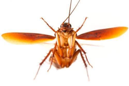 cuales son las cucarachas voladoras
