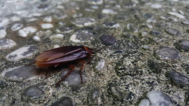 cucaracha voladora