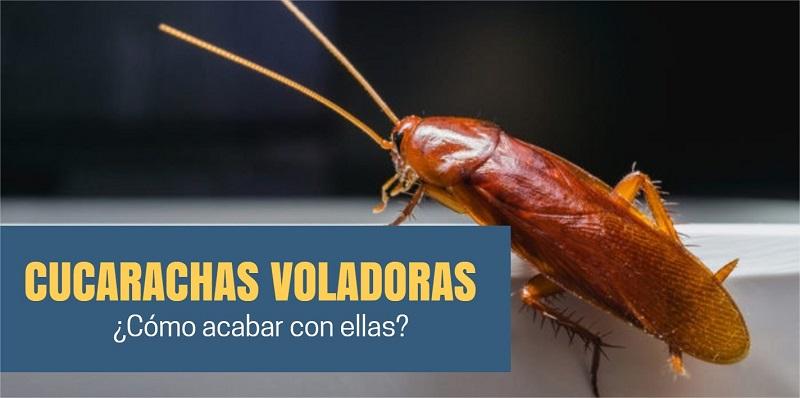 cucarachas-voladoras-como eliminarlas