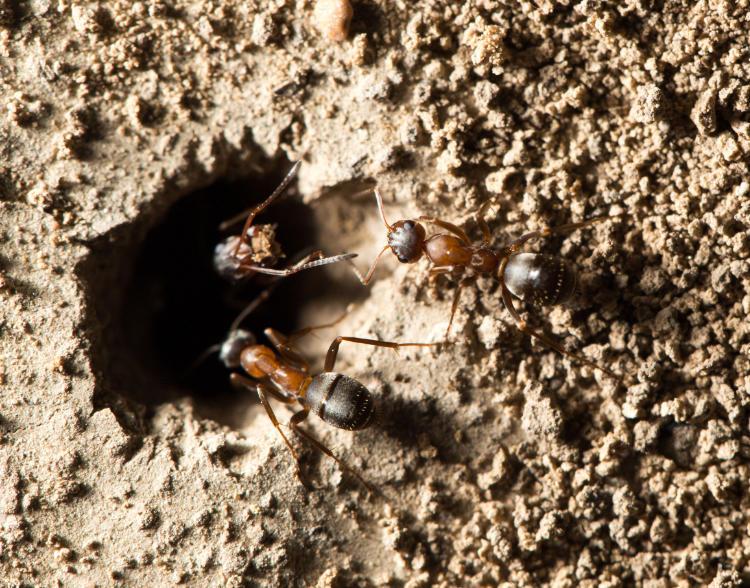 desinsectación hormigas