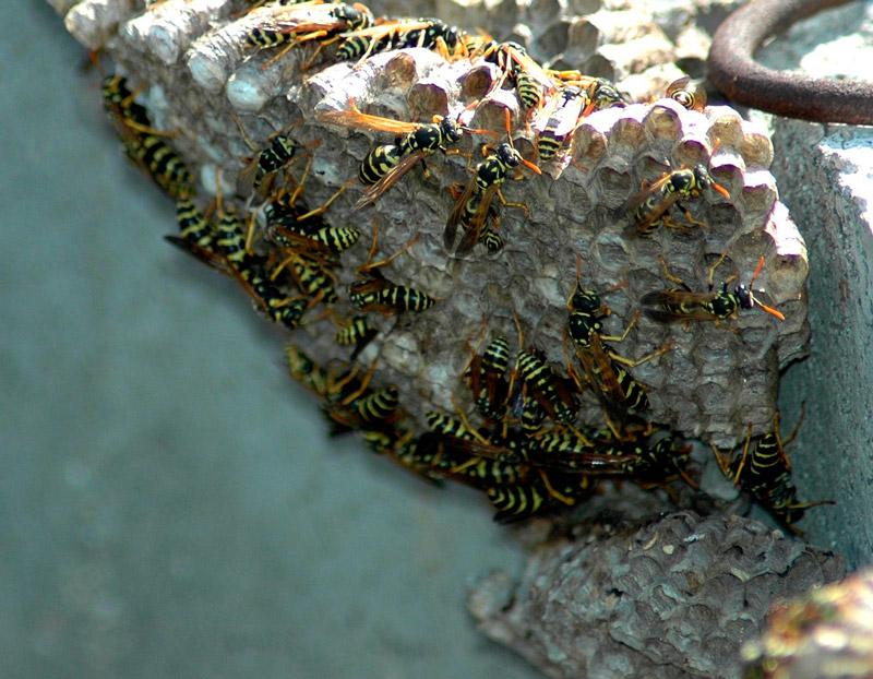 nido-de-avispas