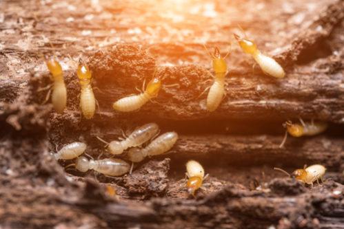 plaga de termitas madera