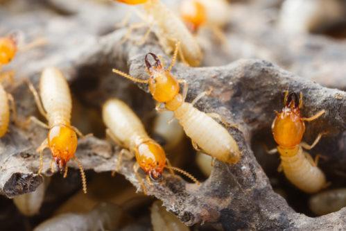 plagas-de-termitas